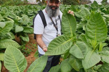 Tobacco plantation in Cuba